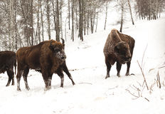 Bison bull and cow with calf. Snow and forest background. Stock Image