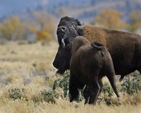 Bison love in the air. Bison bull and cow nuzzling Grand Teton National Park, Wyoming, USA stock photography