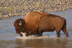 Bison Bull Crossing River. A large American Bison bull crossing the Lamar River in Yellowstone National Park Royalty Free Stock Photos