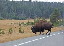 Bison Bull Crossing Road In Yellowstone National Park Stock Photos