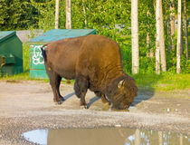 A bison bull drinking from a puddle at a campsite Royalty Free Stock Photography