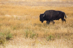 Bison bull Stock Photo