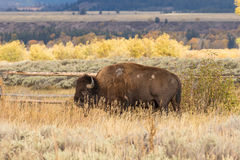 Bison Bull in Fall Royalty Free Stock Images