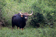 Bison bull in forest. Bison  sighted at a waterhole in Bandipur of India Stock Photography