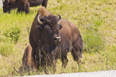 Bison bull guards herd Stock Images