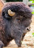 Bison bull head Royalty Free Stock Image