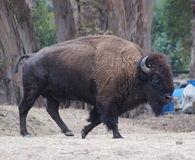 Bison Bull. A huge muscular bison strolling around. This powerhouse had sleek, lean muscles, and knew he was the boss Stock Image