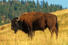 Bison Bull in the Late Evening Magic Light Stock Photo
