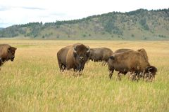 Bison Bull Royalty Free Stock Photo