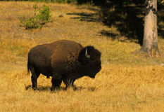 Bison Bull in Meadow. A bull bison in a grassy meadow Stock Image