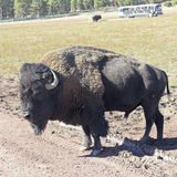 A Bison Bull in a Safari Park Stock Images
