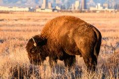 Bison Bull With staden av Denver som en bakgrund Arkivfoton