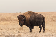 Bison Bull Standing. A bull bison standing on the prairie Stock Photography