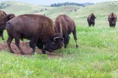 Bison Bull Strength Contest royalty-vrije stock afbeeldingen