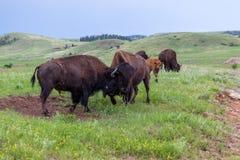 Bison Bull Strength Contest royalty-vrije stock fotografie