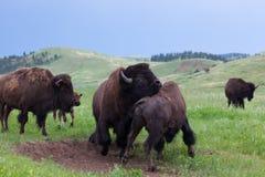 Bison Bull Strength Contest stock afbeeldingen