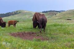 Bison Bull Strength Contest royalty-vrije stock foto's