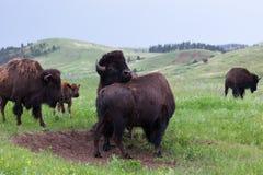 Bison Bull Strength Contest stock afbeelding