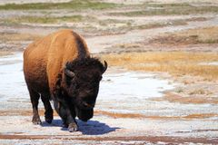 Bison at Upper Geyser Basin, Yellowstone National Park, Wyoming Royalty Free Stock Photos