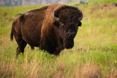Bison Bull Walking Across Grassy-Weide Royalty-vrije Stock Fotografie