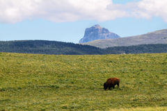 Bison Bull in Waterton lakes Royalty Free Stock Image