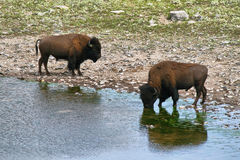 Bison Bull in Waterton lakes Stock Image