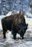 Bison Bull in Winter Royalty Free Stock Images