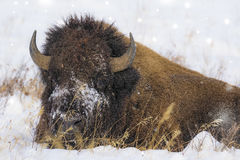 Bison bull in yellowstone Stock Photography