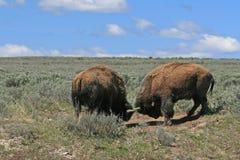 Bison Bulls, der in Hayden Valley in Yellowstone Nationalpark USA kämpft Lizenzfreie Stockfotos