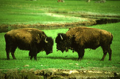 Bison Bulls Facing off Stock Images