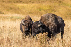 Bison Bulls Royalty Free Stock Image