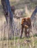 Bison calf. In yellowstone park Stock Images