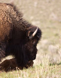 Bison and calf. In Yellowstone park Stock Photography