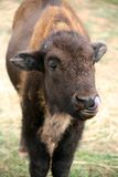 Bison calf Royalty Free Stock Photos