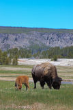 Bison with calf Stock Photos
