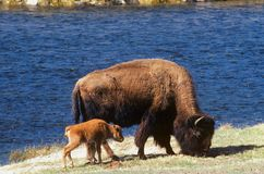 Bison with Calf. A Buffalo with calf grazing along the Yellowstone River in Yellowstone National Park Royalty Free Stock Photos