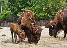 Bison with calf Stock Photo