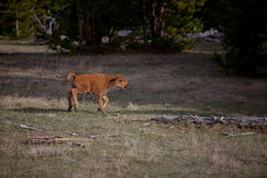 Bison Calf Royalty Free Stock Photos