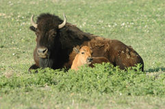 Bison And Calf Royalty Free Stock Photo