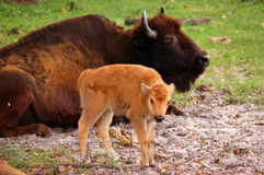 Bison Calf. American bison (Bison bison, also known as american buffalo) calf in front of laying adult one, focus on calf Stock Photo