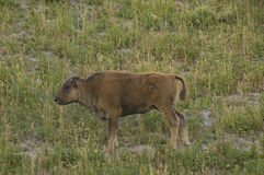 Bison calf Royalty Free Stock Images