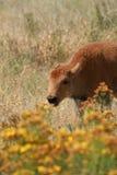 Bison calf Stock Photography