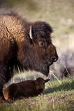 Bison and calf. In Yellowstone national park Stock Images