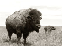 Bison and Calf on the American West Prairie Royalty Free Stock Photo