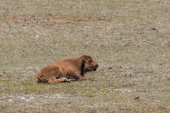 Bison Calf Bedded Royalty Free Stock Image
