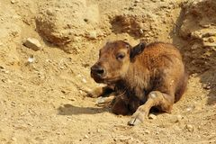 Bison calf. Detail of the bison calf laying on the ground Royalty Free Stock Photography