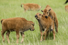 Bison calf doesn& x27;t like being mounted. stock photography