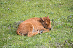 Bison calf dozing in the spring sunshine Stock Image