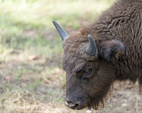 Bison calf Royalty Free Stock Image