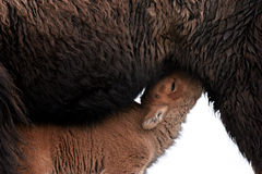 Bison calf feeding Royalty Free Stock Images